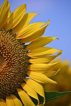 sunflowers are my favorite!