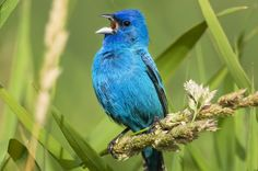 Bird Songs: From regional dialects to mimicry, the world of bird songs is fascinating. birdsandblooms.com