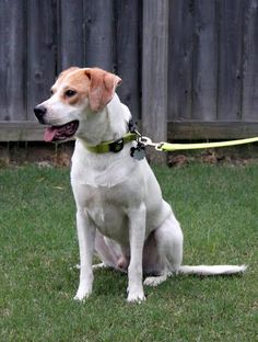 Jethro is an adoptable Hound, Labrador Retriever Dog in Enola, PA Thank you for considering one of our adoptable dogs available through our rescue in Jackson,TN! ... ...Read more about me on @petfinder.com