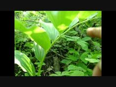 False Solomon's Seal identification video - spring shoots are especially edible but have many poisonous look-alikes so be careful!  Berries are also edible but may cause stomach upset in quantity. (laxative???)