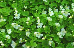 Linaria lobatus White Toadflax-for side planter