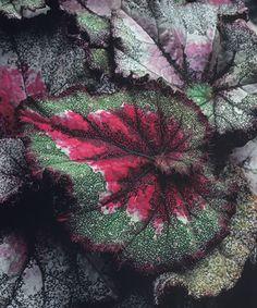 'Capricorn'  Rex Begonia