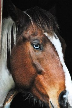 ... eye coloured horse a sign of good luck favoured by gypsy travellers