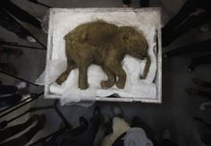 42,000-year-old mammoth baby found in the ice in Siberia