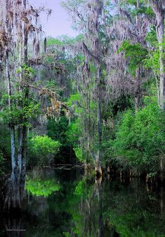 Cypress along Hillsborough River