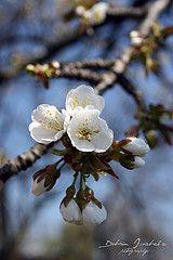 beauti arkansa, thing arkansa, appl blossom