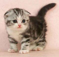 scottish fold kitten. i want one!