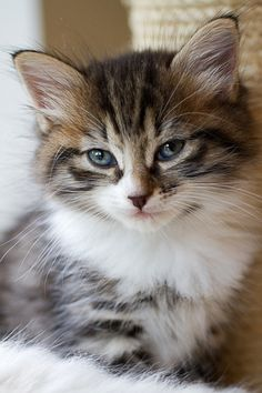 cats, anim cat, sweet kitti, kitti cat, ador kitten, kittens, pretti kitti, kitten ador, kitty