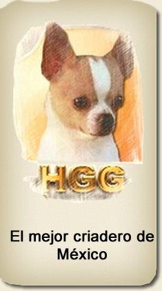 Historia criadero de chihuahuas HGG