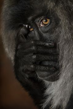 Lion-Tailed Macaque by William T Hornaday
