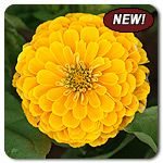 Organic Golden Yellow Zinnia