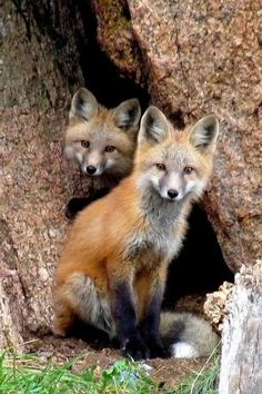 Red Foxes by Marilyn Burton