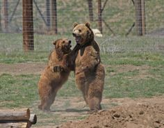 Natasha & Tiny were among 25 Bears that were rescued from a facility in Texas that was forced to close.  The owner of the facility ran away and left no funding to feed or care for over 300 animals.  With nowhere to go, TWAS and other facilities were called to the rescue to give all of the animals a second chance. All three Bears are now living together in a large acreage and enjoying their new freedom at TWAS.