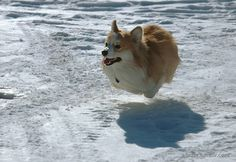 And they defy all laws of gravity. | 71 Reasons We Need To SAVE CORGIS FROM EXTINCTION