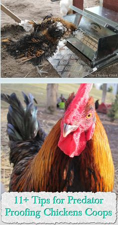 11+ Tips for Predator-proofing Chickens Coops