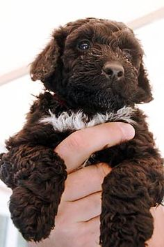 Portuguese water dog, I will have you some day!!