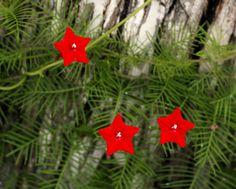10 Seeds Ipomoea quamoclit.,Cypress Vine, Star Glory, Hummingbird Vine