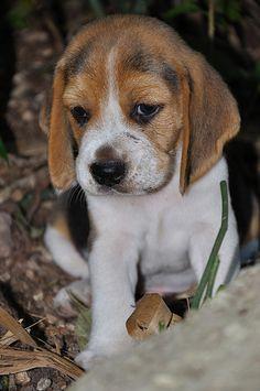Beagle puppy - cute!!