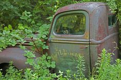Overgrown Rusty Ford Pickup