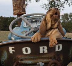 Liver & tan bloodhound puppy - Boerner's Bloodhounds...