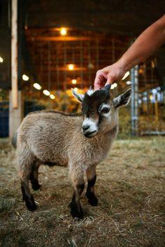 A tiny goat!