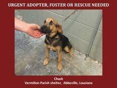 URGENT! WILL DIE 7/6/14 Chuck is a male German Shep. and is 6 to 8 months old and weighs 23.4 lbs. Will be available 7-6-14. http://www.youcaring.com/nonprofits/chuck-shepherd-070114/198021 *Please note this animal is not with AAVA - we are networking for rescue as the liason for the shelter* This baby is in a kill shelter in Abbeville, LA which does not allow public adoptions. Animals must be pulled by an approved rescue or can be adopted through AAVA