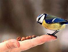 Blue Tit eating Peanuts!