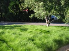 Red Fescue Meadow Grass