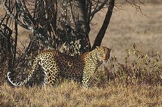 Simon Combes - The Biggest Leopard (http://www.hiddenridgegallery.com/store/simon-combes/the-biggest-leopard.html) #art #simoncombes