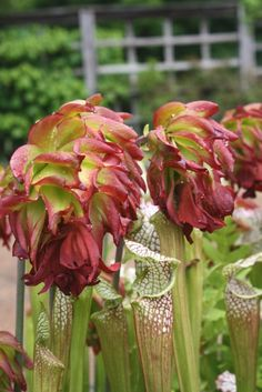 Tarnok Double Flowered White Top Pitcher Plant for sale buy Sarracenia leucophylla 'Tarnok'