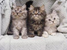 Adorable Persian and Himalayan Kittens!