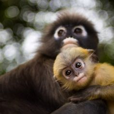leaf monkey, anim, mother, monkeys, national geographic, thailand, leaves, travel photography, duski leaf