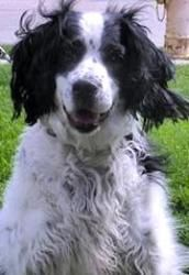 Maizy is an adoptable English Springer Spaniel Dog in Omaha, NE. Maizy is in search of a home to call her own. Please help her find one by sharing this post. Thanks. Medium • Senior • Female • Pet ID: 2011-0225IA • Spayed/Neutered • Up-to-date with routine shots • House trained • Prefers a home without: cats, young children • Primary colors: White or Cream, Black • Coat length: Medium