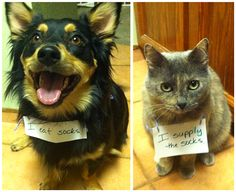 Partners in Sock Crime cats, dog shame, teamwork, dogs, funni, pet, socks, cat shaming, animal shaming