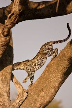 Photo Leopard 15 by catman / www.suhaderbent.com on 500px