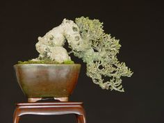 The Art of Bonsai Project - Feature Gallery: Shohin Bonsai
