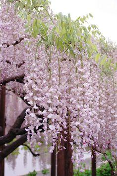 Wisteria - Ashikaga Flower Park, Tochigi, Japan