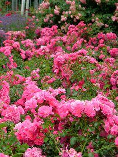 pink roses, carpet pink, flower carpet