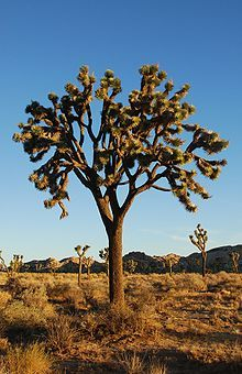 Yucca brevifolia, aka, the Joshua Tree.  Lives in the Mojave desert and can survive up to 1000 years.