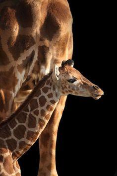 babi giraff, anim, mothers, little ones, fifteen, backgrounds, natur, beauty, giraffes