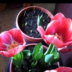Growing tulips inside! Love it!