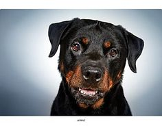 Pictures of Jasmine a Rottweiler for adoption in New York, NY who needs a loving home.