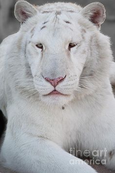 """White Bengal Tiger   Even the """"stripeless"""" white tigers have very pale stripes."""