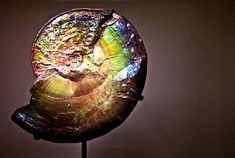 Iridescent ammonite(ammolite) fossil on display at the American Museum of Natural History, New York City