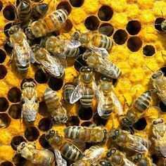 A new study has found that bees have the ability to self medicate themselves against deadly fungi. They are able to find and collect anti-fungal plant extracts with which to coat their hives.