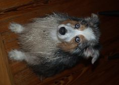 Photo by D. Rubin /   My Australian Shepherd Cody : An annoyed reaction to a sad attempt at a home grooming - 13 years-old