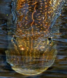 northern pike, I am going to catch some