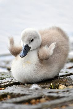 Happy Little Baby Cygnet