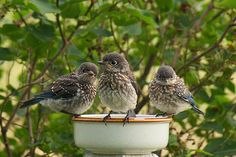 Trouble Times Three - juvenile Eastern Bluebirds photo by Bill Pevlor of PopsDigital.com. #birds #bluebird