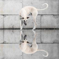 Greyhound Reflections - Awesome capture!